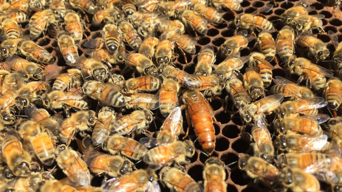 7 Amazing Queen Bee Facts
